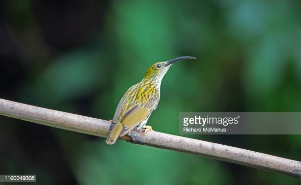 streaked spiderhunter - yunnan province stock pictures, royalty-free photos & images
