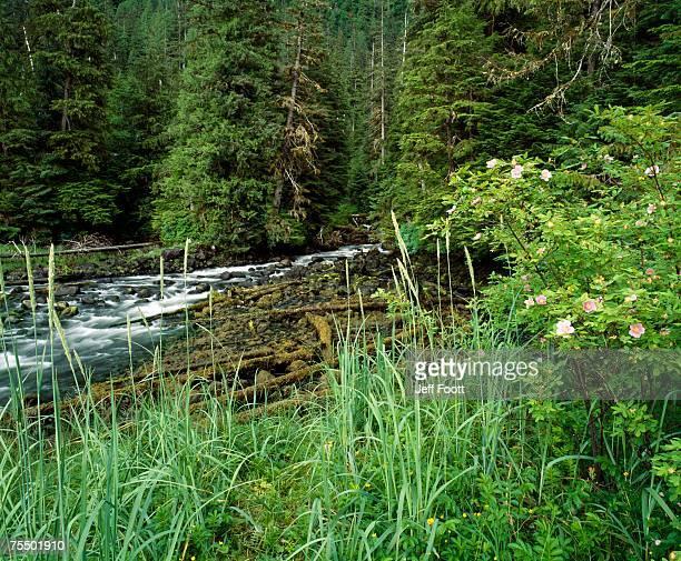 Stream and wild rose. Misty Fjords NM Alaska USA
