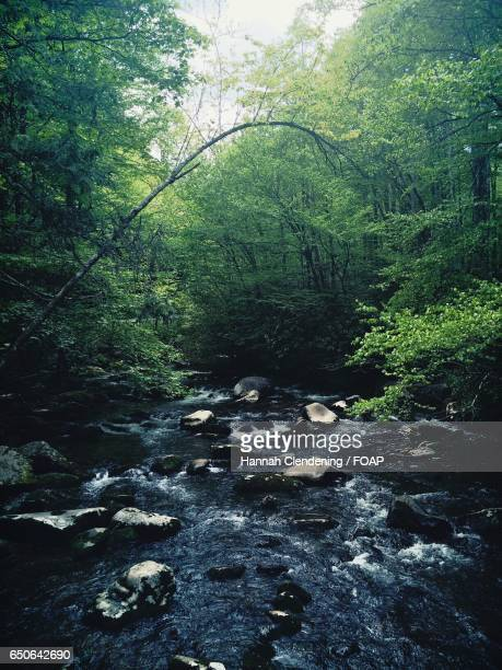 stream flowing through forest - hannah brooks stock photos and pictures