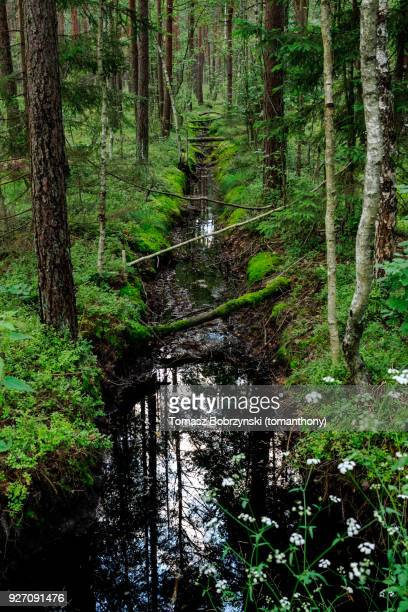 stream in bialowieza forest, north-eastern poland - bialowieza forest stock pictures, royalty-free photos & images