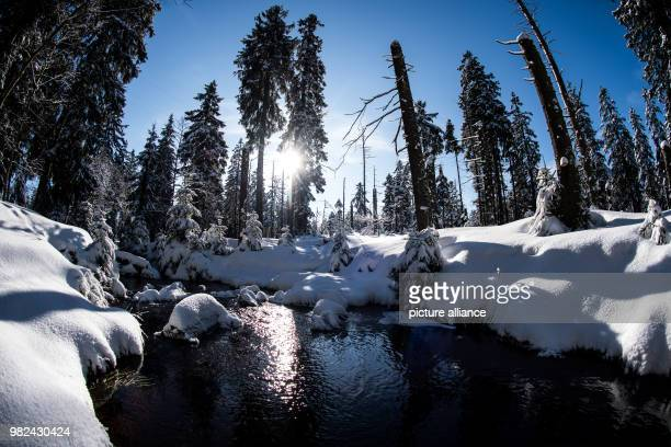 A stream leads past snowcovered spruce trees in the Upper Harz in Oderbrueck Germany 06 Febuary 2018 Photo Swen Pförtner/dpa