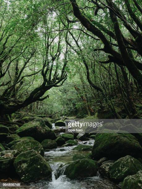 stream running through forest, yakushima island, kagoshima, japan - flora lussureggiante foto e immagini stock