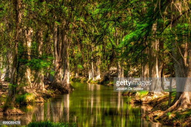 A stream surrounded by cypress tress.