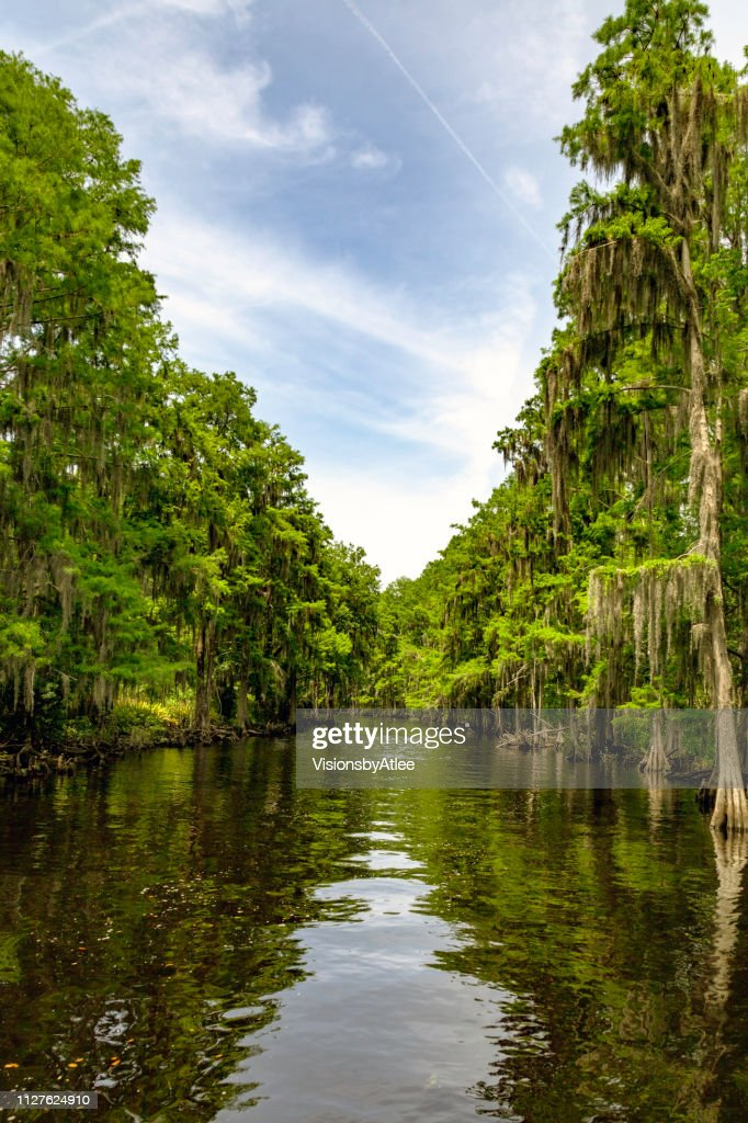 Stream through a Cypress Swamp in Florida : Stock Photo