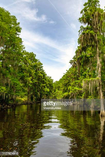 stream through a cypress swamp in florida - bald cypress tree stock photos and pictures