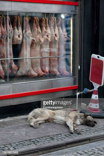 street dog sleeping in front of a butcher shop in urla. - emreturanphoto stock pictures, royalty-free photos & images