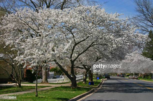 US street in spring with cherry blossom trees