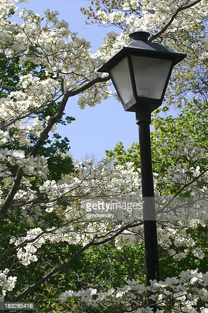 street lamp and dogwoods