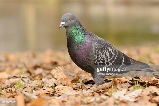 Street pigeon -Columba livia forma domestica-