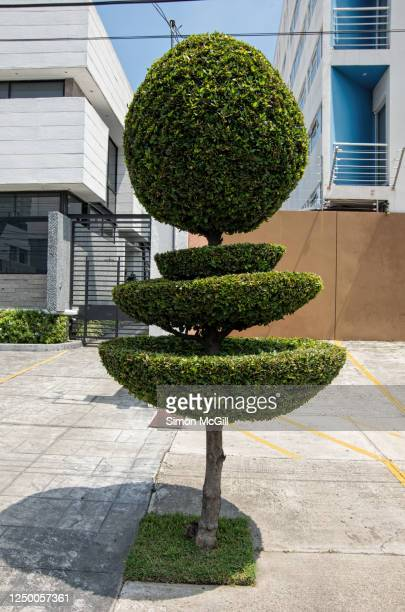 street tree with leaves trimmed into pompom and bowl shapes - トピアリー ストックフォトと画像