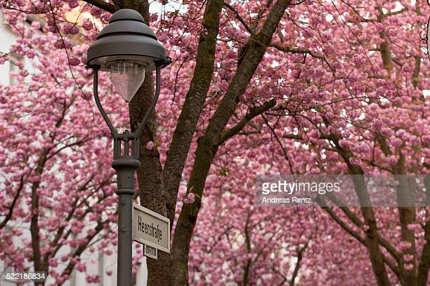Streets of blooming cherry blossom trees are seen in the historic district on April 17 2016 in Bonn Germany The ornamental japanese cherry blossom...
