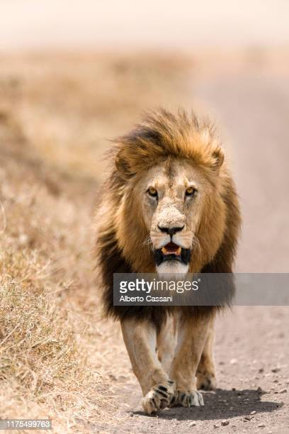 streets of ngorongoro. - lion stock pictures, royalty-free photos & images