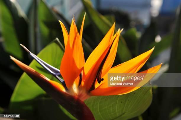 Strelitzia, Crane Flower or Bird of Paradise (Strelitzia reginae), California, United States