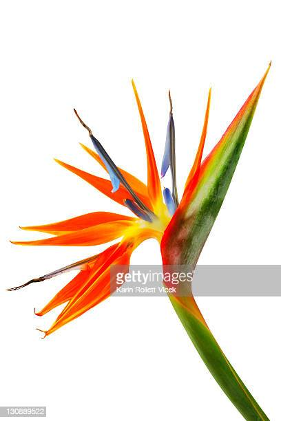 Strelitzia, Crane Flower or Bird of Paradise (Strelitzia regina) on white