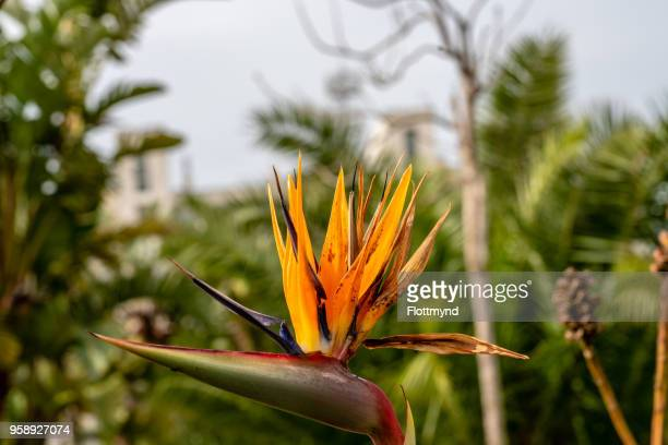 Strelitzia or Bird of Paradise flower