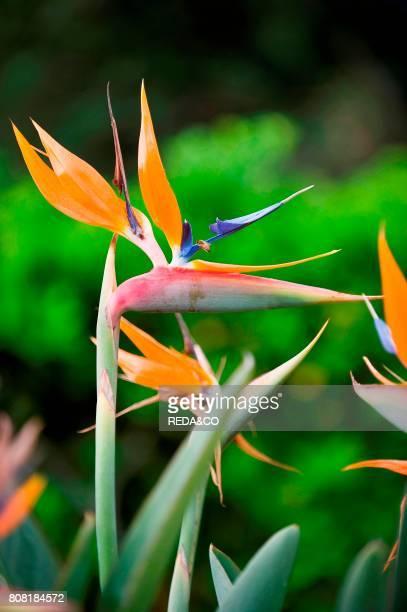 Strelitzia reginae and Bee Bird of Paradise Crane flower Uccello del Paradiso Sardinia Italy