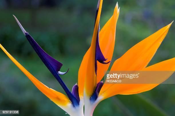 Strelitzia Reginae Bird of Paradise Crane Flower Uccello Del Paradiso