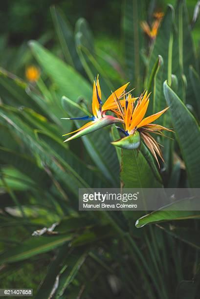 Strelitzia reginae - bird of paradise flower