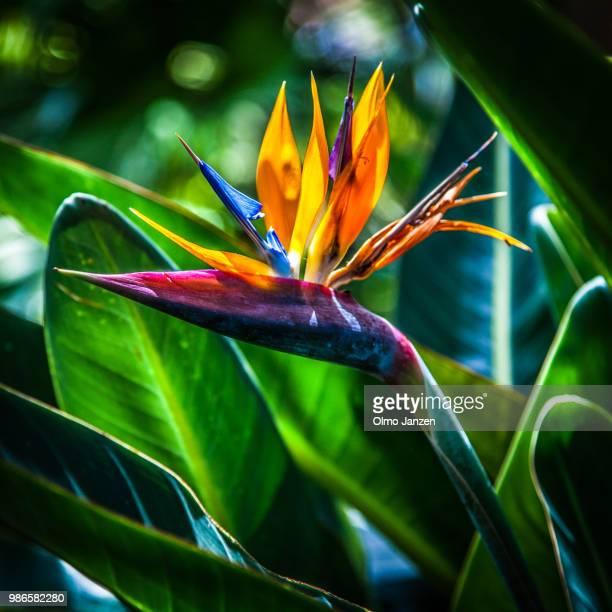 Strelitzia reginae #1
