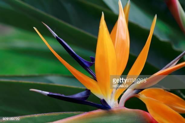 Strelitzia Reginae Uccello Del Paradiso Bird of Paradise Crane Flower