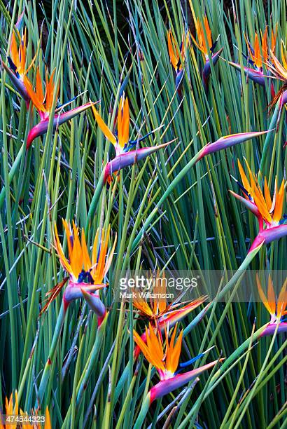 Strelitzia, South Africa.