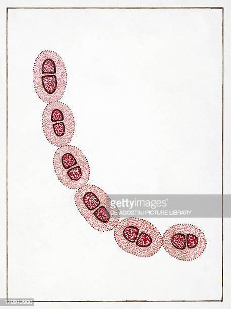 Streptococcus pneumoniae or pneumococcus, bacteria responsible for pneumonia. Drawing.