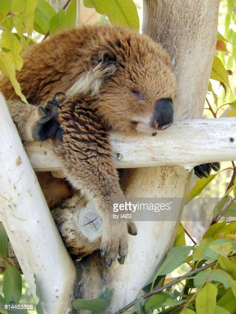 A stressless koala takes a nap in the eucalyptus