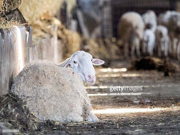 Stretched out sheep resting, enclosed in a corral of a farm