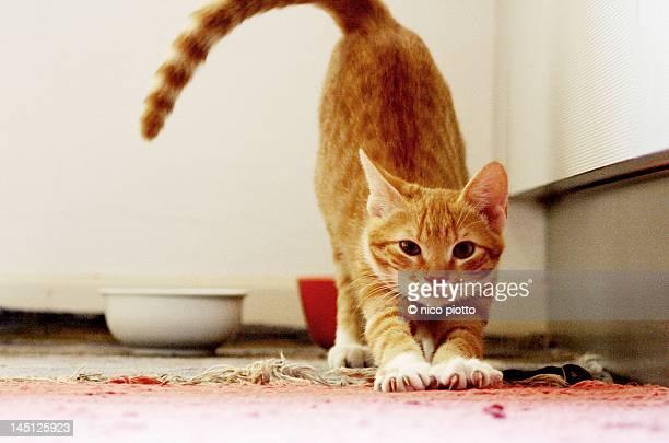 stretching cat - トラ猫 ストックフォトと画像