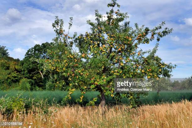 streuobstwiese trocken mit apfelbaum - fruit tree stock pictures, royalty-free photos & images