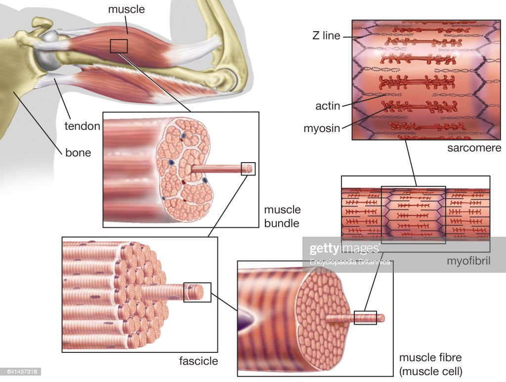 Striated Or Skeletal Muscle Human Muscular System Myofibril