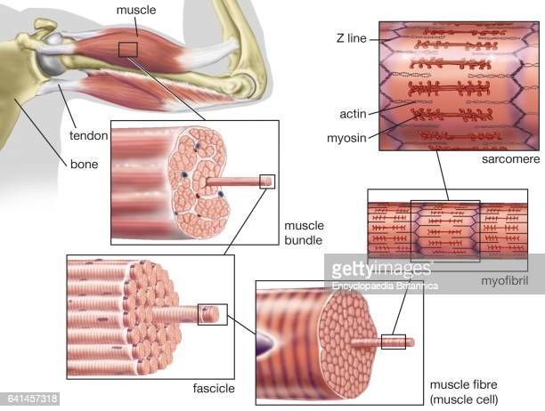 striated or skeletal muscle human muscular system myofibril fascicle sarcomere