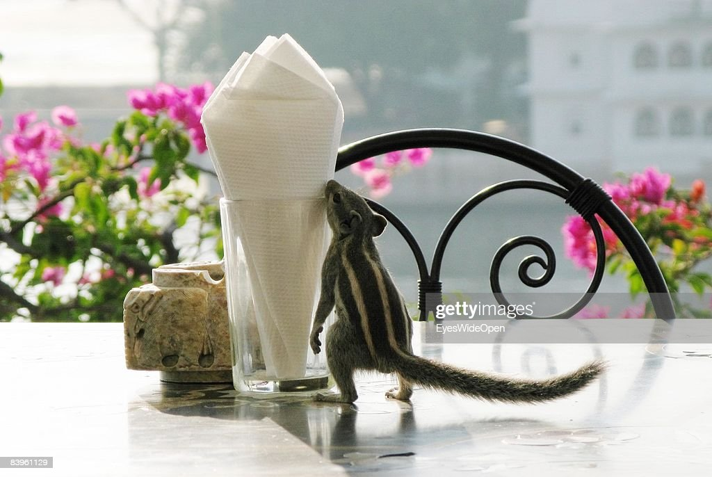 A stribed squirrel on a table in a hotel on January 06, 2008 in Udaipur, India.