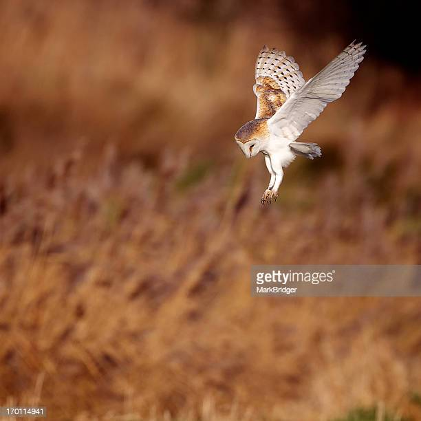 strike - barn owl stock pictures, royalty-free photos & images