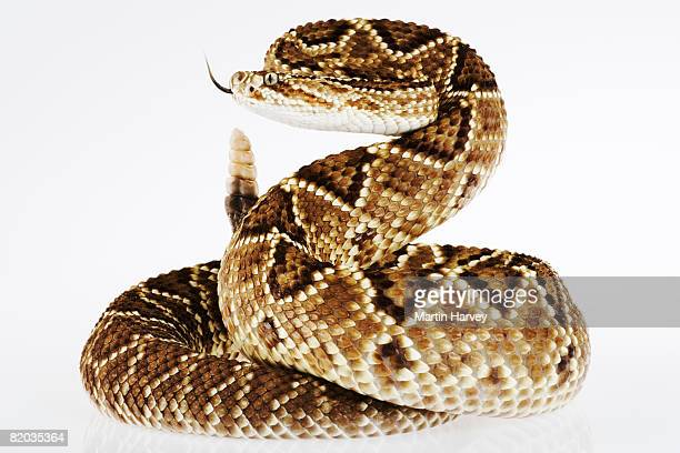 striking neotropical rattlesnake. - animals attacking stock pictures, royalty-free photos & images