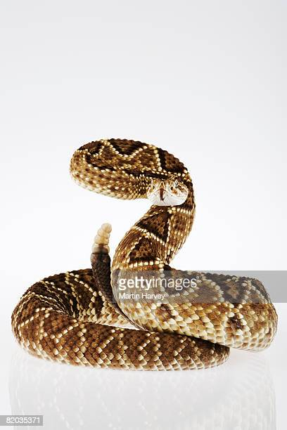 Striking Neotropical rattlesnake.