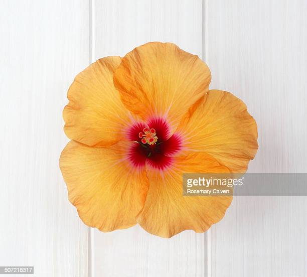 Striking orange hibiscus with red centre on white.