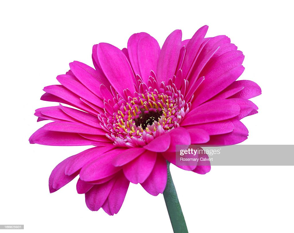 Striking Pink Gerbera Flower On White Background Stock Photo Getty