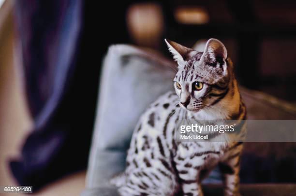 Striking Silver Bengal Cat