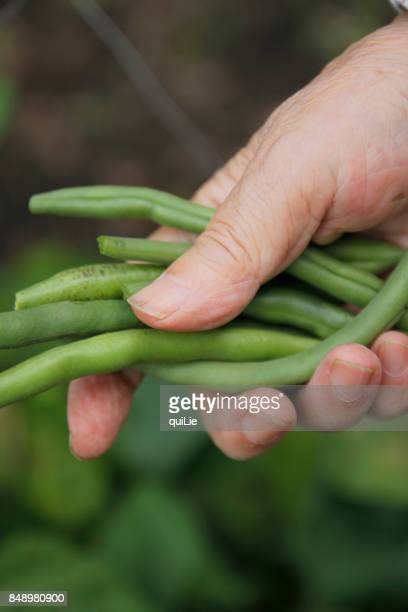 string beans in old women hand - bush bean stock photos and pictures