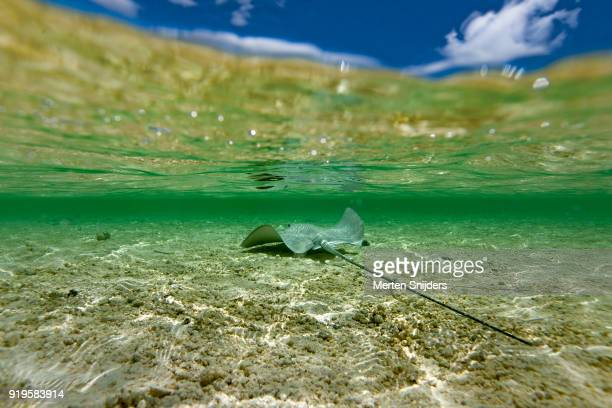 Stringray with long tail in shallows
