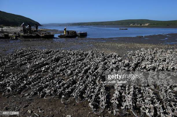 Strings of mother shells sit on the ground at Drakes Bay Oyster Co on April 16 2014 in Inverness California Oyster farmer Kevin Lunny has asked the...