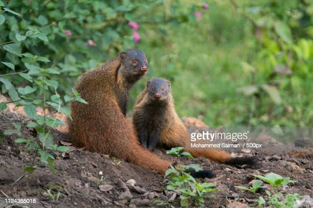 stripe necked mongoose with its young - mangusta foto e immagini stock