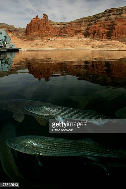 A striped bass in the foreground and carp surface at Dangling Rope Marina reachable only by boat 43 miles from Glen Canyon Dam at Lake Powell on...