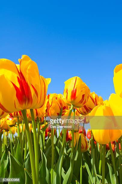 striped bellona tulip - dan sherwood photography stock pictures, royalty-free photos & images