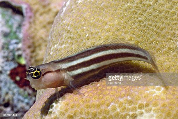 Striped Blenny