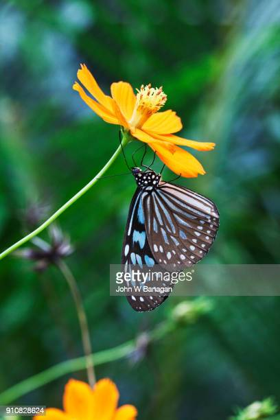 Striped Blue Crow butterfly. Kep