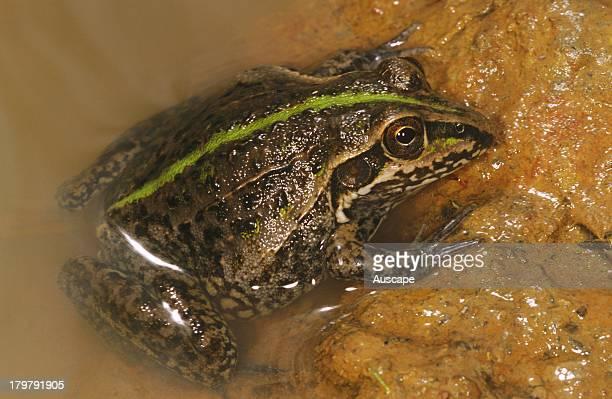 Striped burrowing frog Cyclorana alboguttata Lake Mitchell far north Queensland Australia