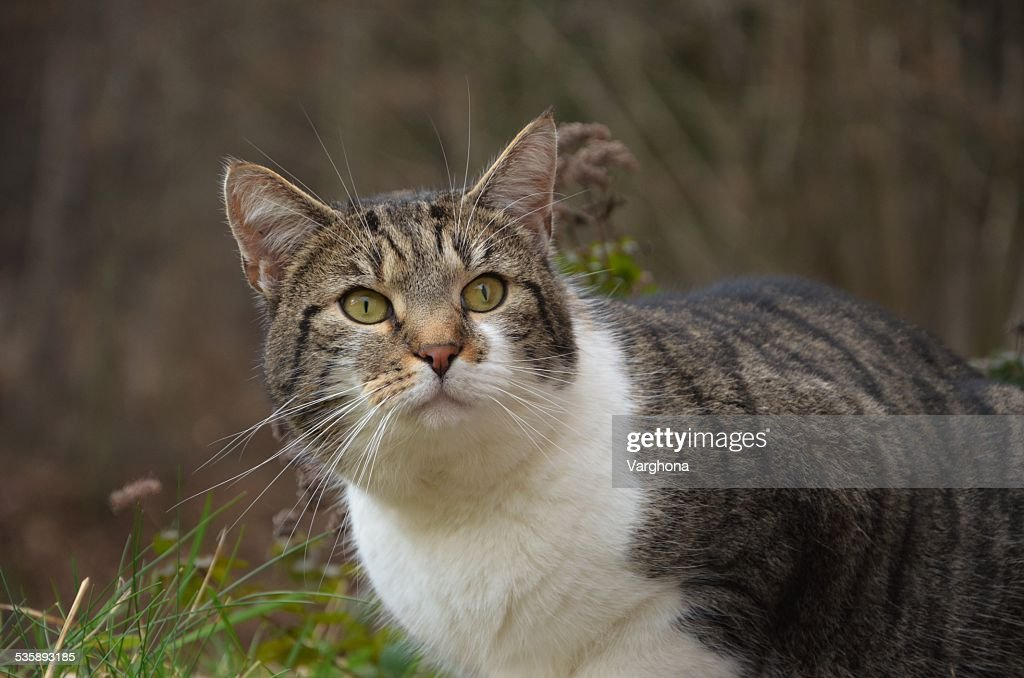 striped cat : Stockfoto