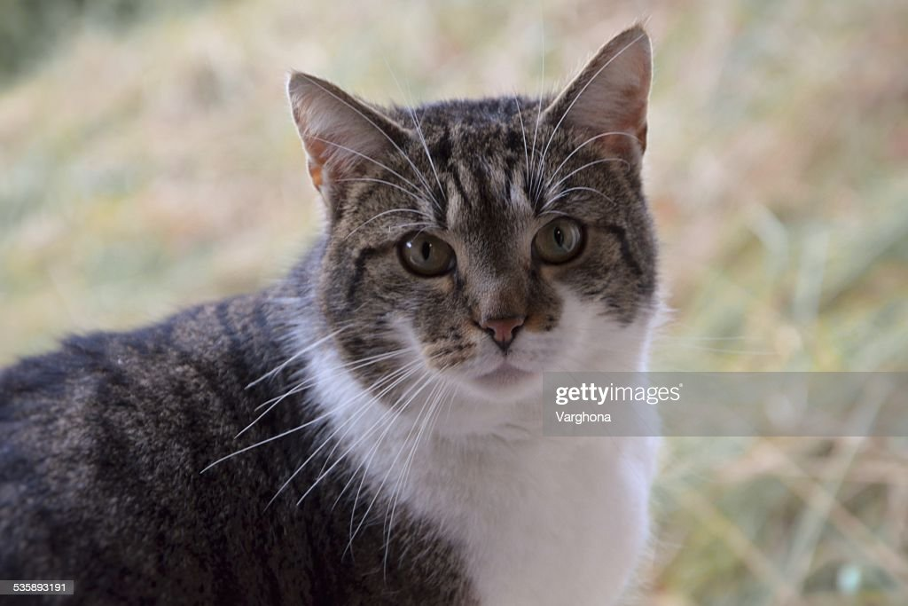 Gestreifte Katze : Stock-Foto